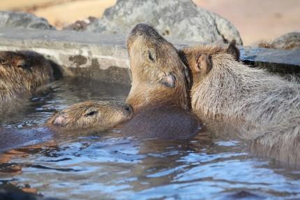 冬にはカピバラ温泉も!見るだけじゃない、埼玉の穴場動物園 画像1