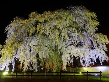 北斗桜回廊・ライトアップは4/29から 画像1