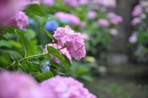 【都内】雨の日だから出掛けたい、紫陽花の名所3選 画像1