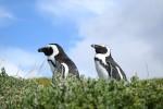 【アフリカ】可愛くて気ままなペンギンたちの生活にキュン 画像1